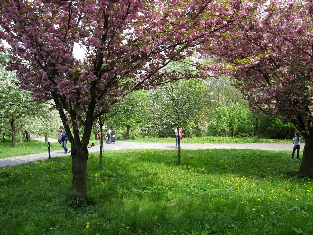 Cherry trees Petrin park
