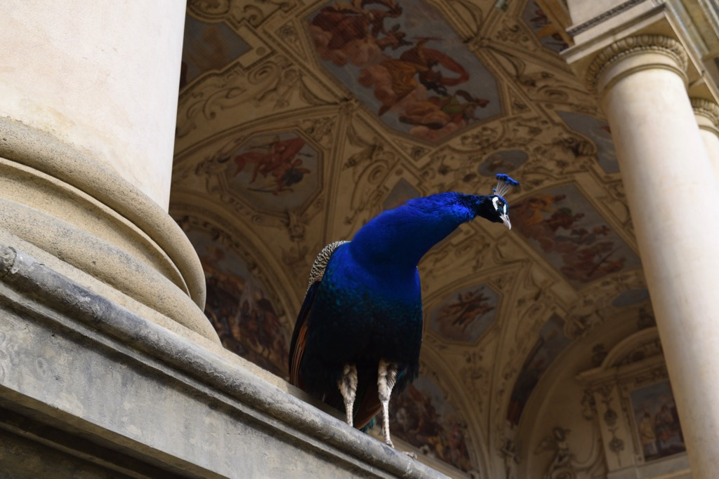 Peacock in Wallenstein Garden