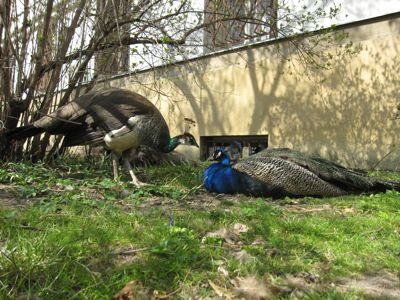 Peacocks at Vojanovy Sady